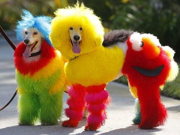 Glam Doggy Fashion Show For Sunshine Coast Pride