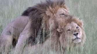gay lion pride