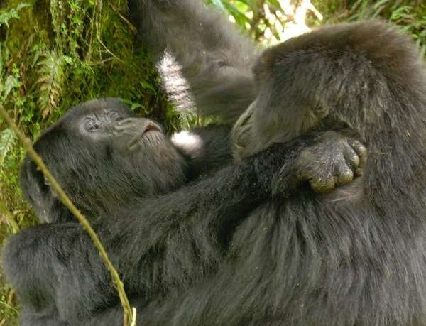 Gorillas Seen Having Lesbian Sex