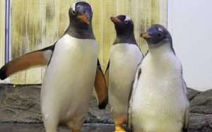 Gender Reveal For Sydney Gay Penguin Couple's Foster Baby