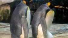 berlin zoo gay penguin couple
