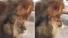 gay lion humping viral video