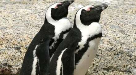 african penguins gay couple netherlands