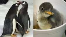 sydney gay penguin couple sphen magic dads