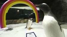 sphen magic gay penguins
