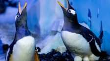 lesbian penguins london sea life aquarium mating season