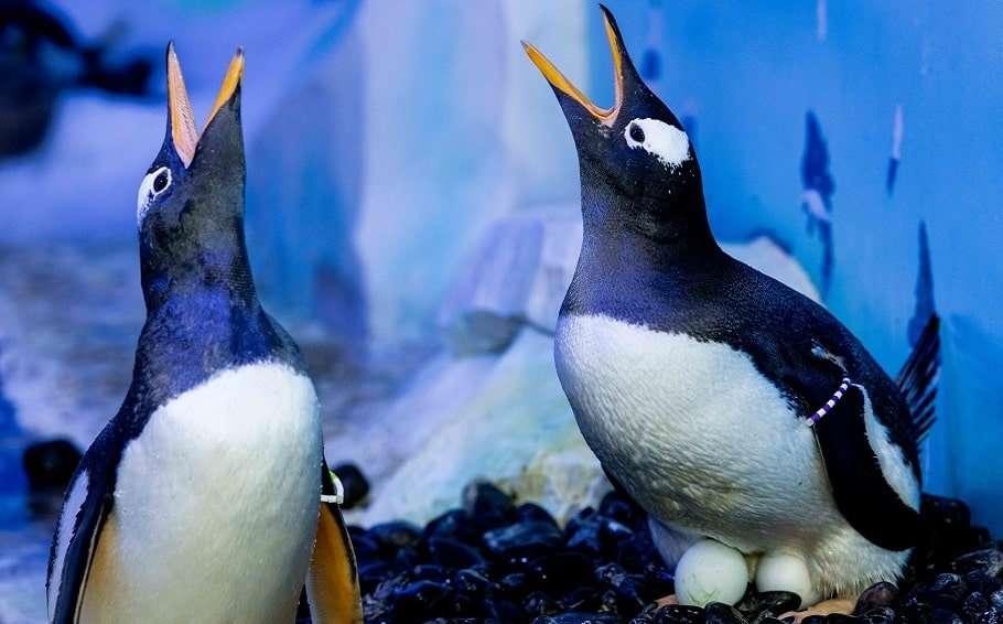 lesbian penguins london sea life aquarium mating season