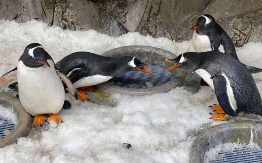 melbourne sea life aquarium gay penguin couple gay penguins sydney sea life